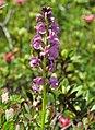 Pedicularis rostratospicata RF.jpg