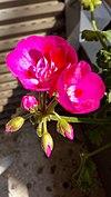 Pelargonium × hortorum - γεράνι 02.jpg