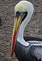 Pelican close up (6235861532).jpg