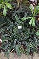 Pellaea rotundifolia - Botanischer Garten, Dresden, Germany - DSC08607.JPG