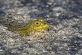Pelophylax lessonae, Pool Frog, Poelkikker 04.jpg
