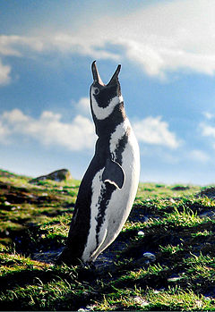 Penguin, Strait of Magellan.jpg