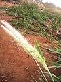 Pennisetum purpureum inflo.jpg