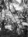Pentaoe (dockor av svart bast) som utsatts vid ingångarna till byn för skydd mot onda andar - SMVK - 010705.tif