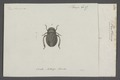 Penthimia - Print - Iconographia Zoologica - Special Collections University of Amsterdam - UBAINV0274 042 06 0017.tif