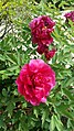Peony material 1st in Peony Educational Series.jpg
