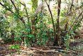 Pepohonan di semak belukar (2).JPG