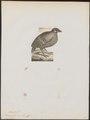 Perdix javanica - 1788-1823 - Print - Iconographia Zoologica - Special Collections University of Amsterdam - UBA01 IZ17100105.tif