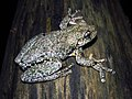 Perons Tree Frog (Litoria peroni) (8270655295).jpg