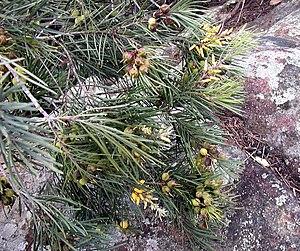 Persoonia - Persoonia linearis fruit (Geebungs) and flowers