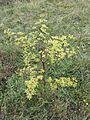 Peucedanum alsaticum sl2.jpg
