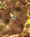 Peucetia viridans Green lynx spider.jpg