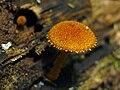 Phaeomarasmius erinaceus 50789.jpg
