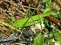 Phaneroptera falcata (Tettigoniidae sp.) female, Elst (Gld), the Netherlands.jpg