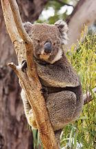 Koala Rusten in giek Tussen tak en stam
