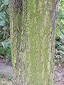 Phellodendron amurense4.jpg