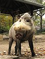 Philadelphia Zoo Bearded Pig Oct 09.JPG