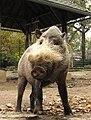 Philadelphia Zoo Bearded Pig Oct 09.JPG