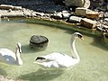 Phillips Park Zoo Swan.JPG