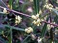 Phillyrea angustifolia StemFlowers 2009Mach29 DehesaBoyaldePuertollano.jpg
