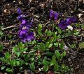 Phlox stolonifera - Flickr - peganum.jpg