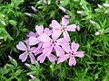 Phlox subulata 1.jpg