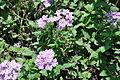 Phlox subulata Creepig Phlox Plant ფლოქსი.JPG