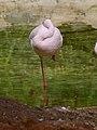 Phoenicopterus minor - flamingo - flamant - 07.jpg