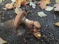 Pholiota squarrosa 53038924.jpg