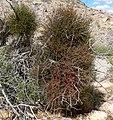 Phoradendron californicum 5.jpg