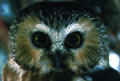 Photo of the Week - Northern Saw-Whet Owl (4226399418).jpg