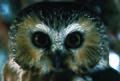 Photo of the Week - Northern Saw-Whet Owl (4226399418).jpg