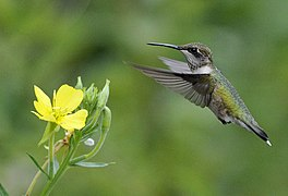 Photo of the Week - Ruby-throated Hummingbird (MA) (7725713732).jpg