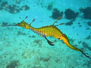 Common seadragon - Phyllopteryx taeniolatus in Cabbage Tree Bay, Sydney, Australia