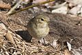 Phylloscopus trochilus - Willow Warbler, Adana 2017-01-15 09-1.jpg