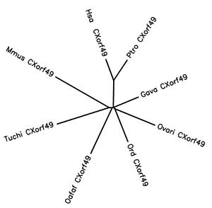 CXorf49 - Image: Phylogenetic tree 1