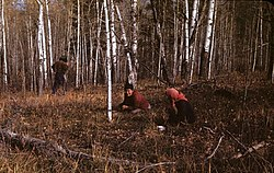 Cree women picking cranberries, 1947