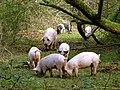 Pigs in the New Forest at Brockenhurst, Hampshire, Hampshire.jpg