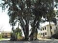 PikiWiki Israel 2255 Eucalyptus in Israel אקליפטוס.jpg