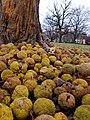 Pile of rotting Osage oranges (32102199452).jpg