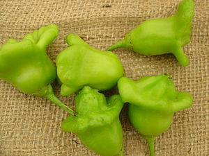 Capsicum baccatum - Bishop's crown fruits