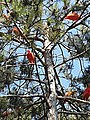 Pinales - Pinus nigra - 5.jpg