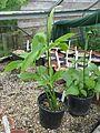 Pinellia pedatisecta (L) and ternata - Flickr - peganum.jpg
