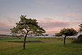 Pines at Penbury Knoll looking along Pentridge Hill - geograph.org.uk - 306250.jpg