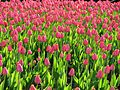 Pink tulips field.jpg