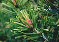 Pinus albicaulis BLM1.jpg
