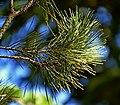 Pinus brutia 05.jpg