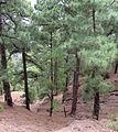 Pinus canariensis forest Caldera de Taburiente 4.jpg