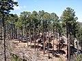 Pinus engelmannii Huachuca.jpg