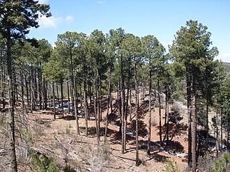 Huachuca Mountains - Apache pine (Pinus engelmannii)